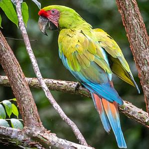 "alt=""green macaw in guapiles"""